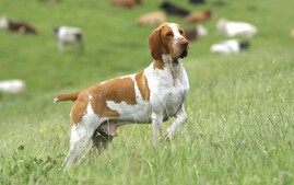 Bracco Italiano Dog Running in Field