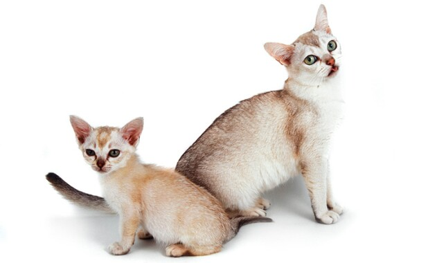 Burmilla Cat and Kitten