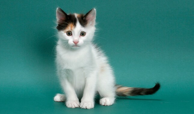 Turkish Van Kitten Sitting