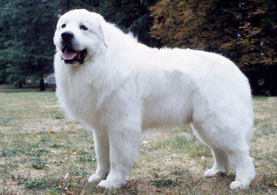 大比利牛斯犬种