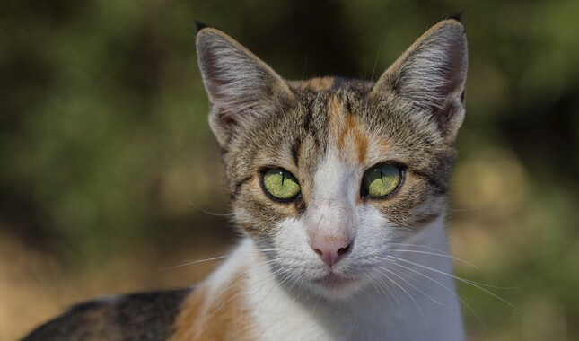 Portrait of Aegean cat breed