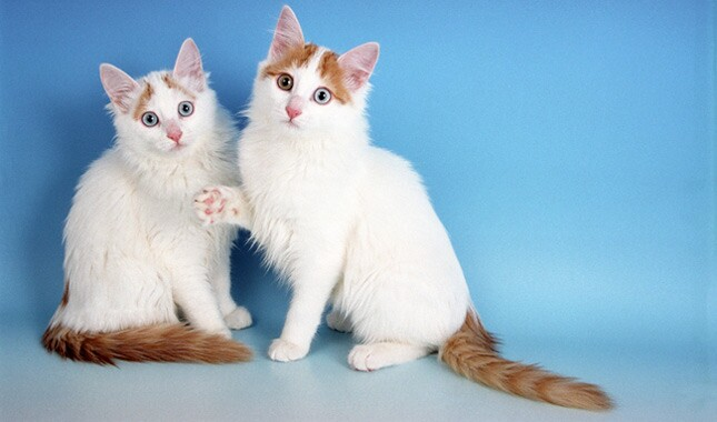 6f44b09eda Turkish Van Cat Breed Information