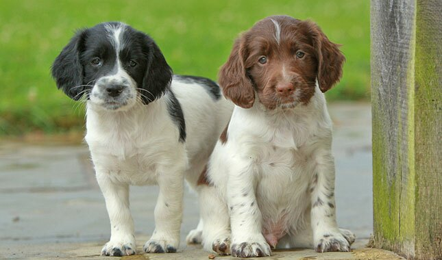 English Springer Spaniel puppies.