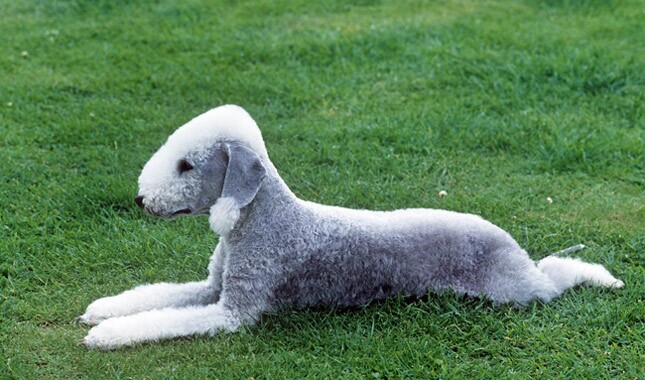 Bedlington Terrier Breed Information