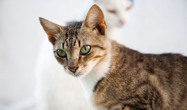 Close up of Aegean cat breed