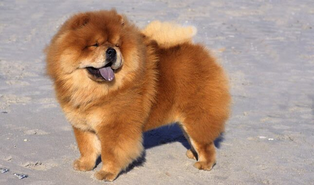 Chow Chow Breed Information