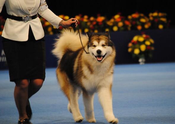 National Dog Show Samoyed