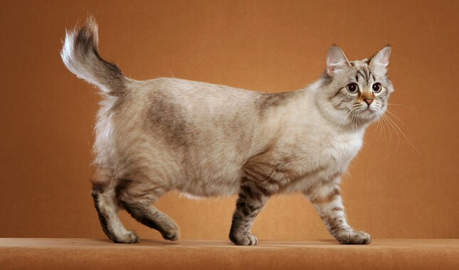 American Bobtail Side View