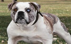 Alapaha Blue-Blood Bulldog Dog Breed