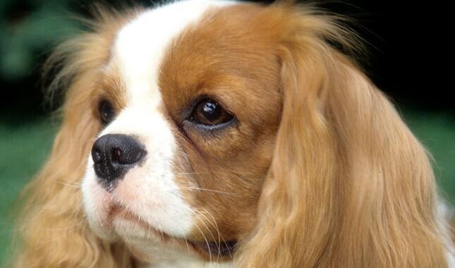 Cavalier king charles spaniel breed information cavalier king charles spaniel dog breed altavistaventures Gallery
