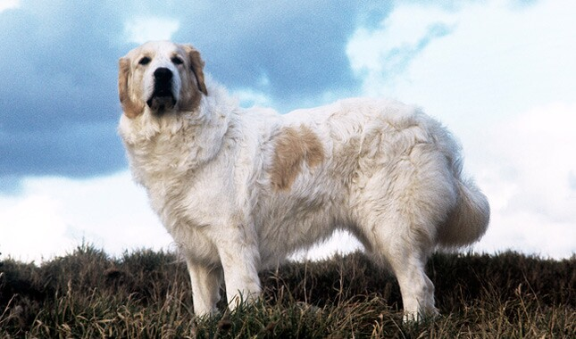 Well understand golden pyrenees adult weight opinion, actual