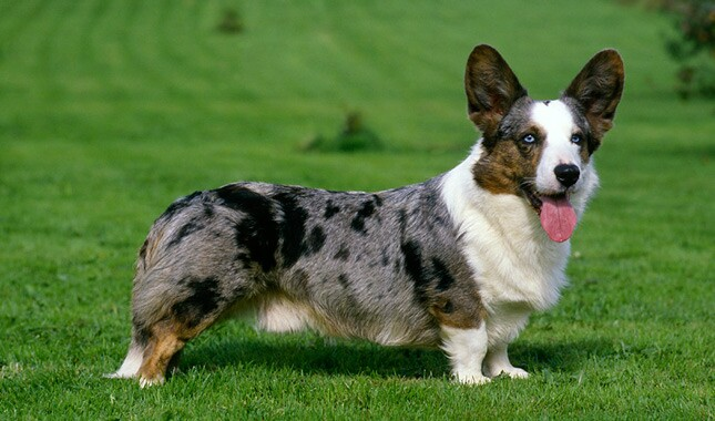 Cardigan Welsh Corgi Breed Information