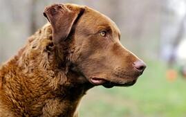 切萨皮克湾寻回犬品种