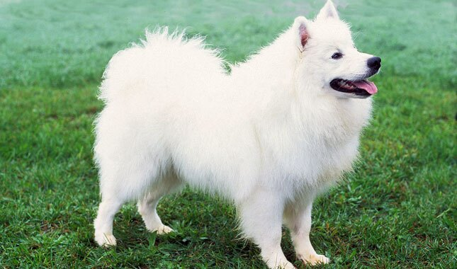 Shaved japanese spitz tits and