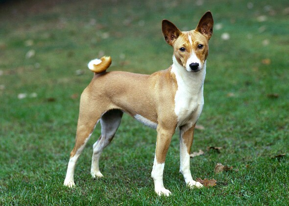 Small Short Haired Dogs With Pointy Ears