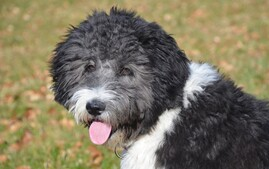 Aussiedoodle designer dog