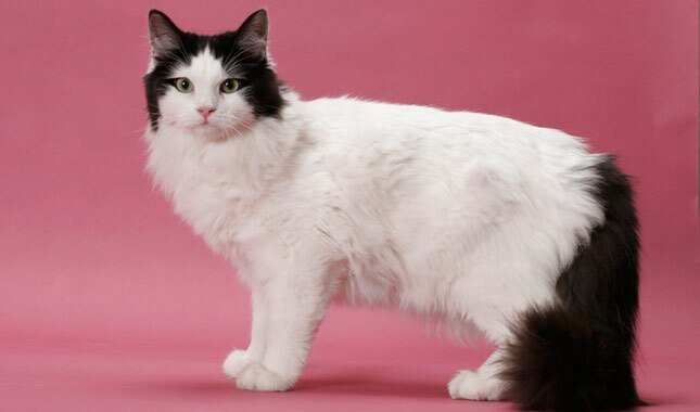 Black and White Ragamuffin cat