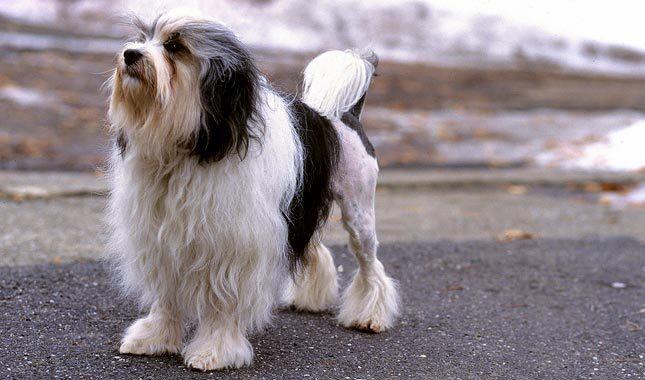 Lowchen Dog Breed