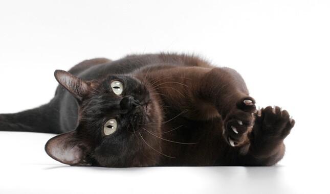 Burmese cat on back.