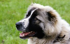 Caucasian Ovcharka Dog Breed