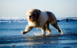 Polish Lowland Sheepdog Running in Water