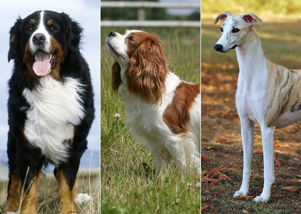 Readers Vote On The Most Quiet Dog Breeds