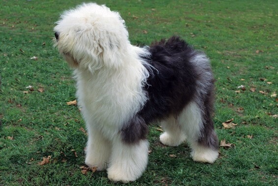 english sheepdog dog breed information