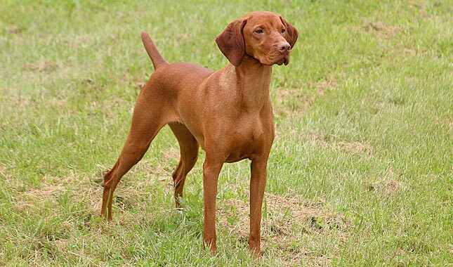 Vizsla Dog Breed Information