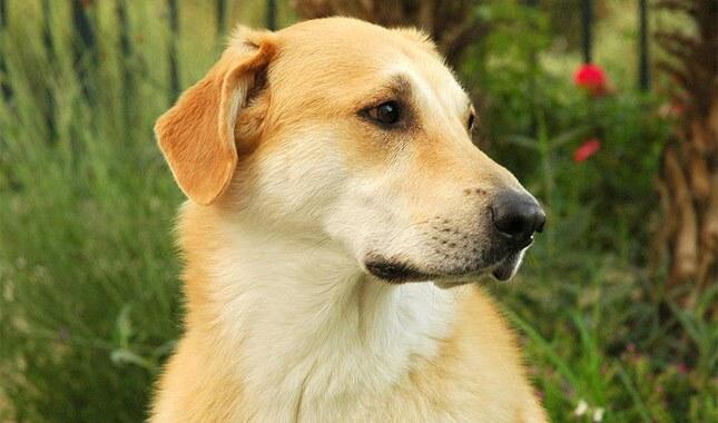 Chinook Dog Breed