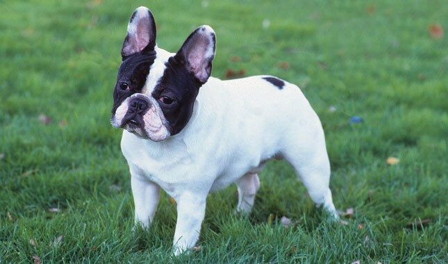 23+ Micro Mini French Bulldog Full Grown
