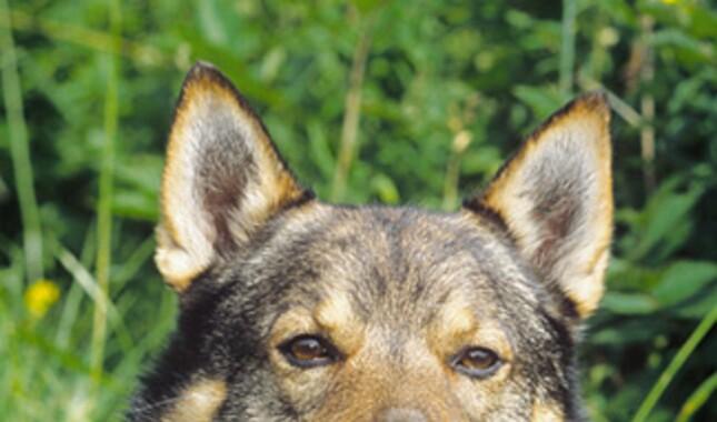 Swedish Vallhund Dog