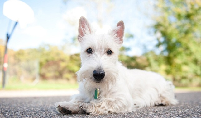 Scottish Terrier Dog Breed Information
