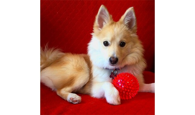 Pomsky designer dog on red couch with red ball