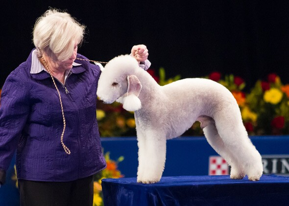 9 unusual looking breeds at the 2012 national dog show