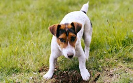 Jack Russell Terrier Digging