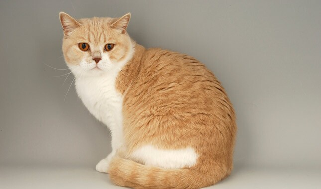 Orange British Shorthair