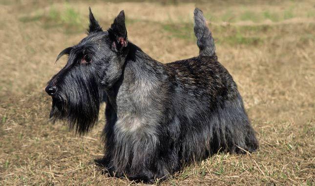 Scottish Terrier Dog Breed Information