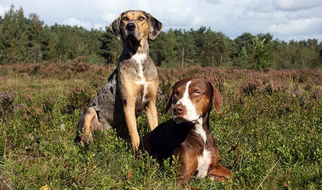 Are Catahoula Good Family Dogs