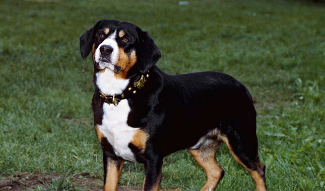 Entlebucher Mountain Dog in field.