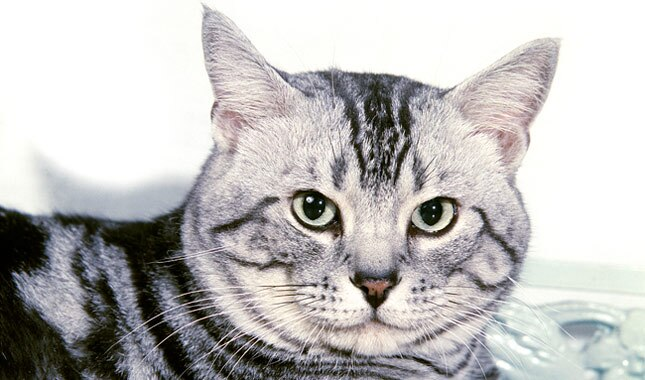American Shorthair Cat Appearance