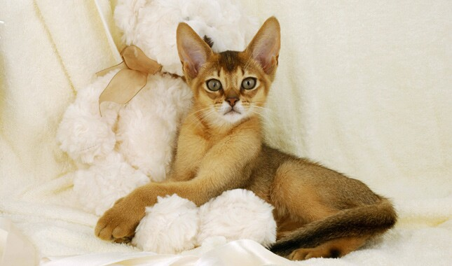 Abyssinian Cat With Teddy Bear