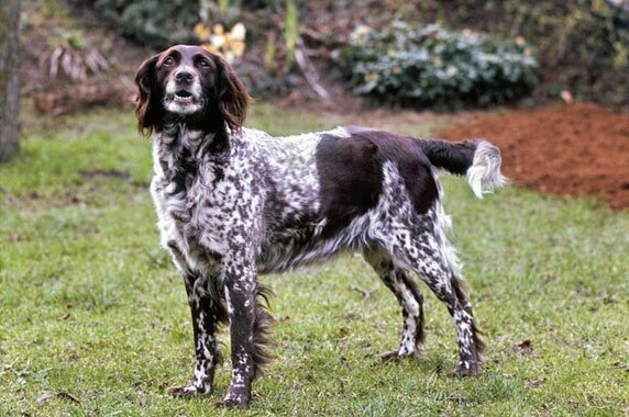 Small Munsterlander Dog Breed