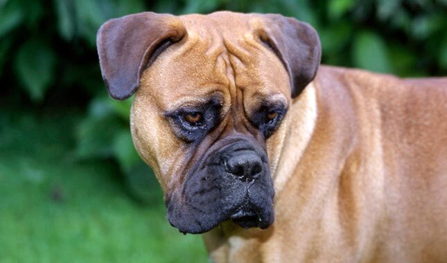 Bull Mastiff Dog Breed