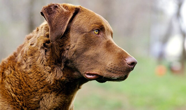 Chesapeake Bay Retriever Dog Breed Information 03ad03db6e