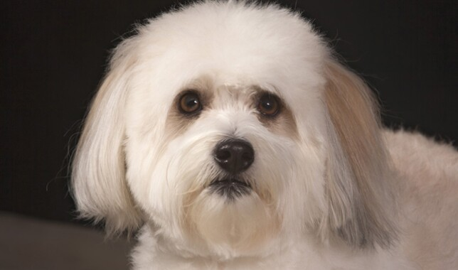 Coton de Tulear Facing Camera