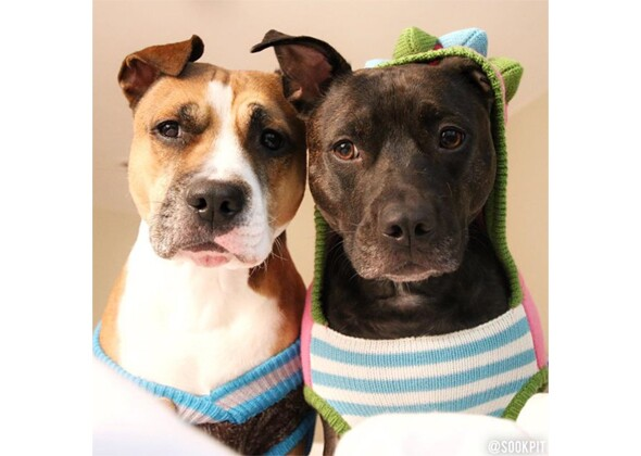 cute pit bull pictures we can t get enough of