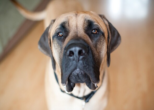 8 Large Dog Breeds Suited To Apartment Living