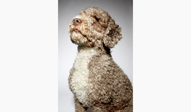 Spanish Water Dog Sitting Closeup