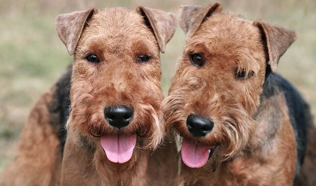 Welsh Terrier Dog Breed