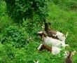 goats eating foliage